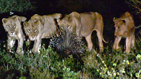 حمله هفت شیر به یک تشی