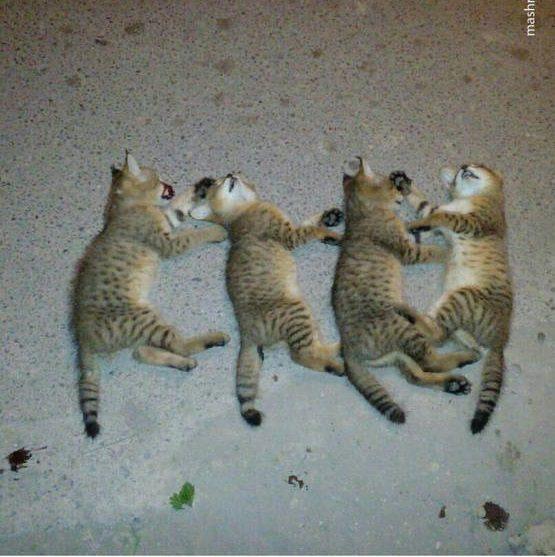 کشتار بیرحمانه ۴ بچه گربه جنگلی در گیلان
