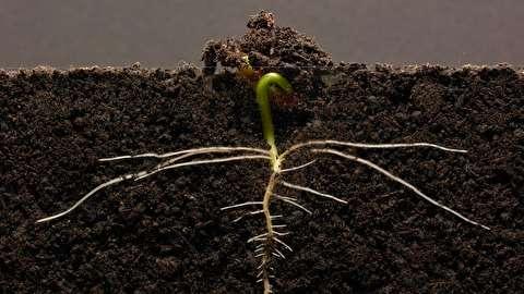 تایم لپس رشد لوبیای قرمز در 25 روز