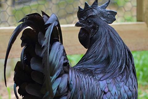مرغهای سیاه اندونزی