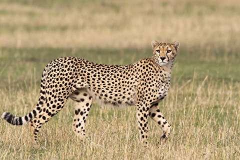 شکوه راه رفتن چیتا