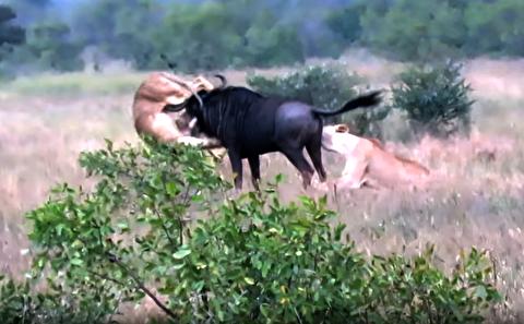 غلبه یک کل یالدار بر دو شیر