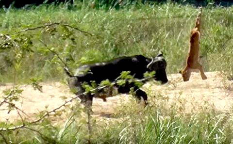 دفاع گاومیش از مارمولک در برابر حمله شیرها
