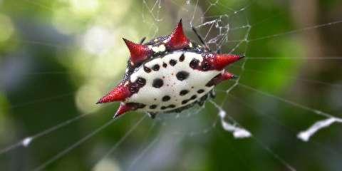 ناهار عنکبوت خاردار گردباف پس از بافتن تار