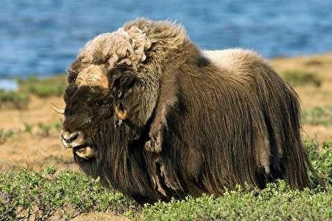 گاومشکهای سیبری، پستانداران کهن