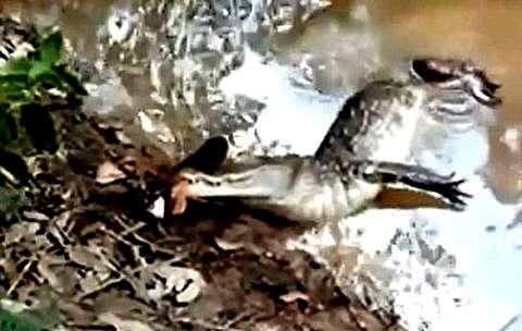 ماهی برقی با برق 860ولت تمساح را خشک کرد