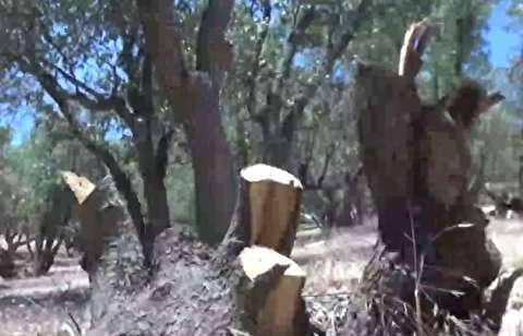 قطع 200 اصله درخت بلوط توسط سودجویان