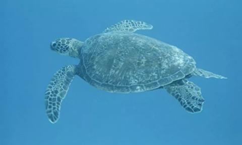 لاکپشتهای سبز خلیج فارس