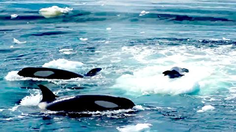 چهار نهنگ قاتل به دنبال یک فک باهوش