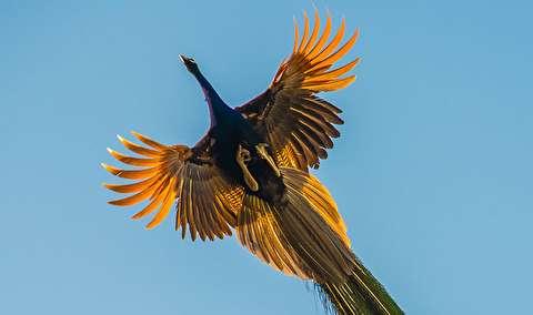 پرواز زیبای طاووس