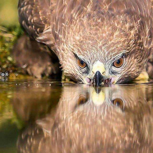 شکار لحظهای زیبا از آب خوردن یک عقاب