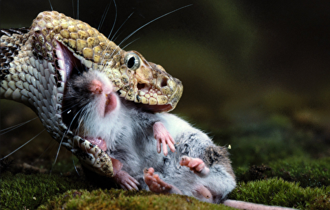 شکار موش توسط افعی