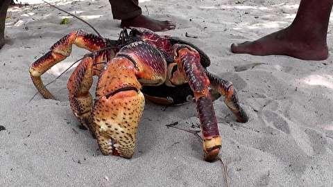 حمله خرچنگ نارگیل به یک پرنده