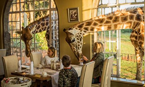زرافههای اهلی در هتل کنیا!