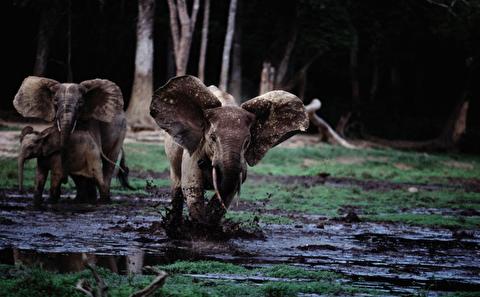 حمله فیل عاجدار به مرد کشاورز در هند