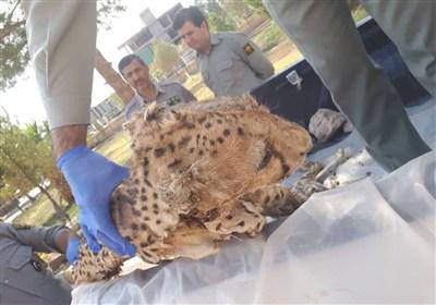 کشف لاشه یک قلاده یوز در راور کرمان