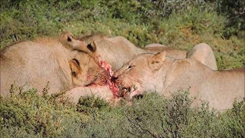 خوردن گراز زنده توسط شیرها
