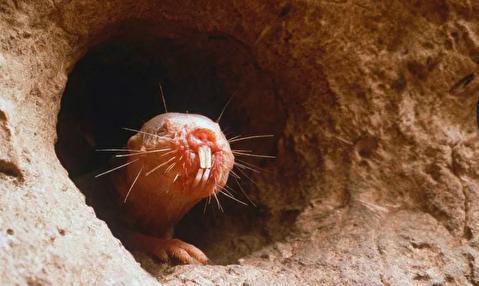 موشهای صحرایی برهنه، کلید درمان سرطان