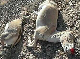 فرضیهپردازی ابتلای گورها به «شاربن» شکست خورد؛ عامل مرگ این گونههای ارزشمند را ببینید!