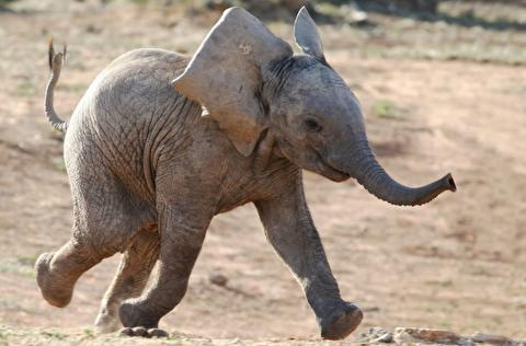 یک فیل جوان گیج چگونه رفتار میکند؟