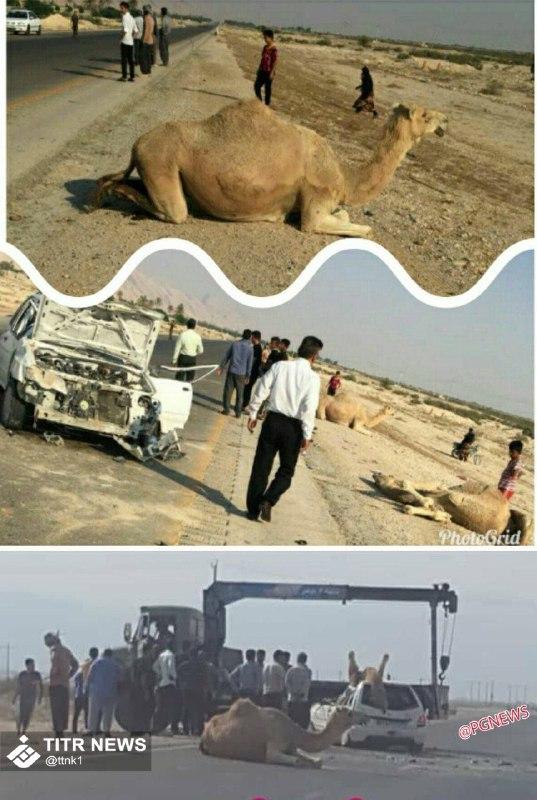 تصادف خونین پراید و شتر در استان بوشهر