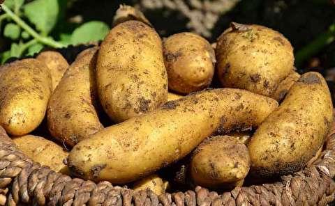 تولید و عرضه سیب زمینیهای سمی در ایران!