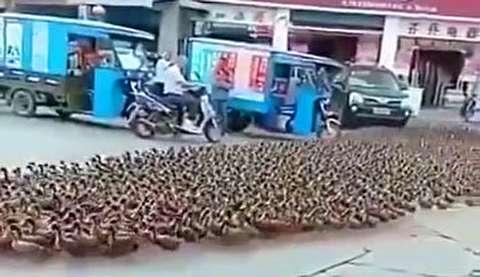 ترافیک عبور هزاران اردک برای خودروها