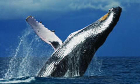 پرشهای نهنگ گوژپشت سی تنی