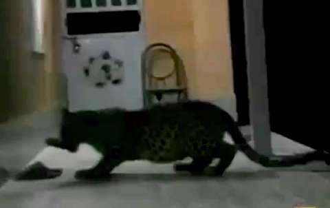 سرقت دمپایی محیطبان توسط پلنگ ایرانی!