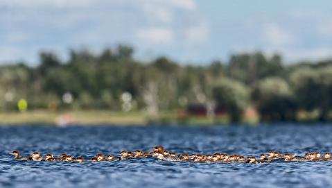 خانواده بزرگ 77 نفره یک اردک ماهیخوار