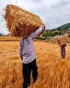 رئیس جمهور با افزایش نرخ خرید تضمینی گندم مخالف است/ عدهای بانفوذ در دستگاهها به دنبال واردات گندم هستند