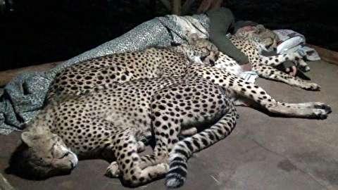 رقابت یوزپلنگها برای خوابیدن در جای گرم و نرم!