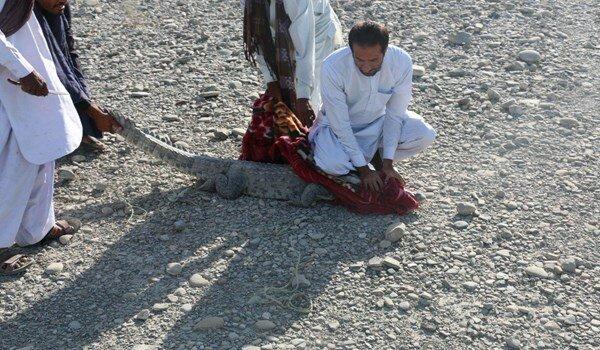 زنده گیری تمساح سرگردان در چابهار