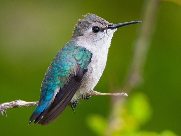 کوچکترین پرنده جهان