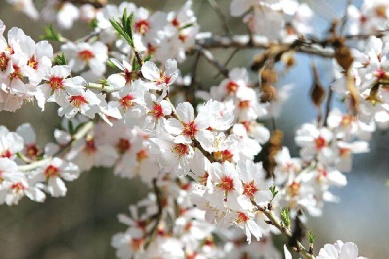 برخی درختان آستارا در زمستان به شکوفه نشست