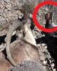 فرش قرمز «بزرگتر» سازمان حفاظت محیط زیست زیر پای شکارچیان!