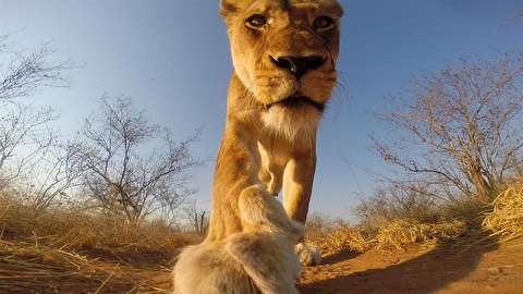 دوربین، شکار تازه شیر کنجکاو