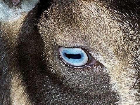 تفاوت مردمک چشم حیوانات