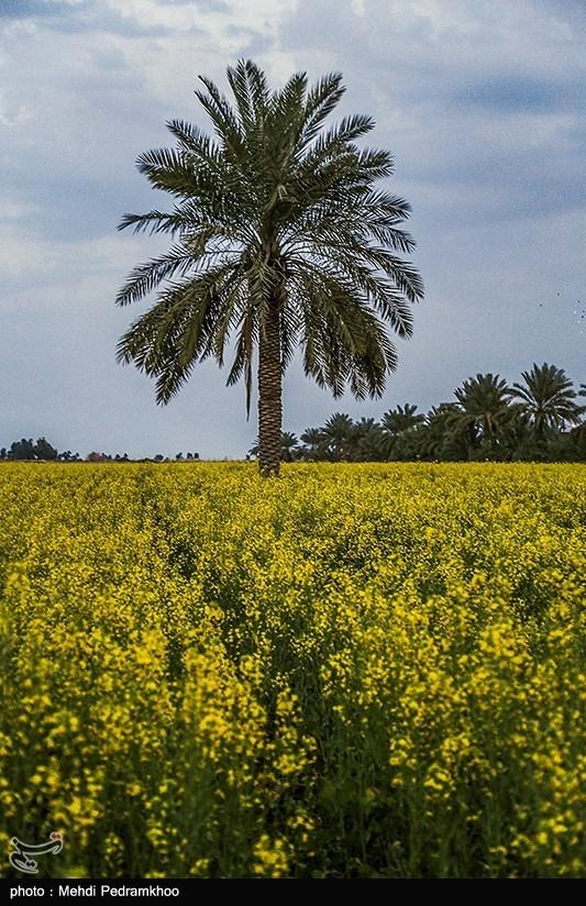 مزارع چشم نواز گیاه کلزا در خوزستان