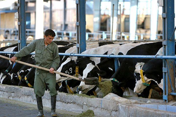 تورم تولید محصولات گاوداری صنعتی ۱۸.۳ درصد افزایش یافت