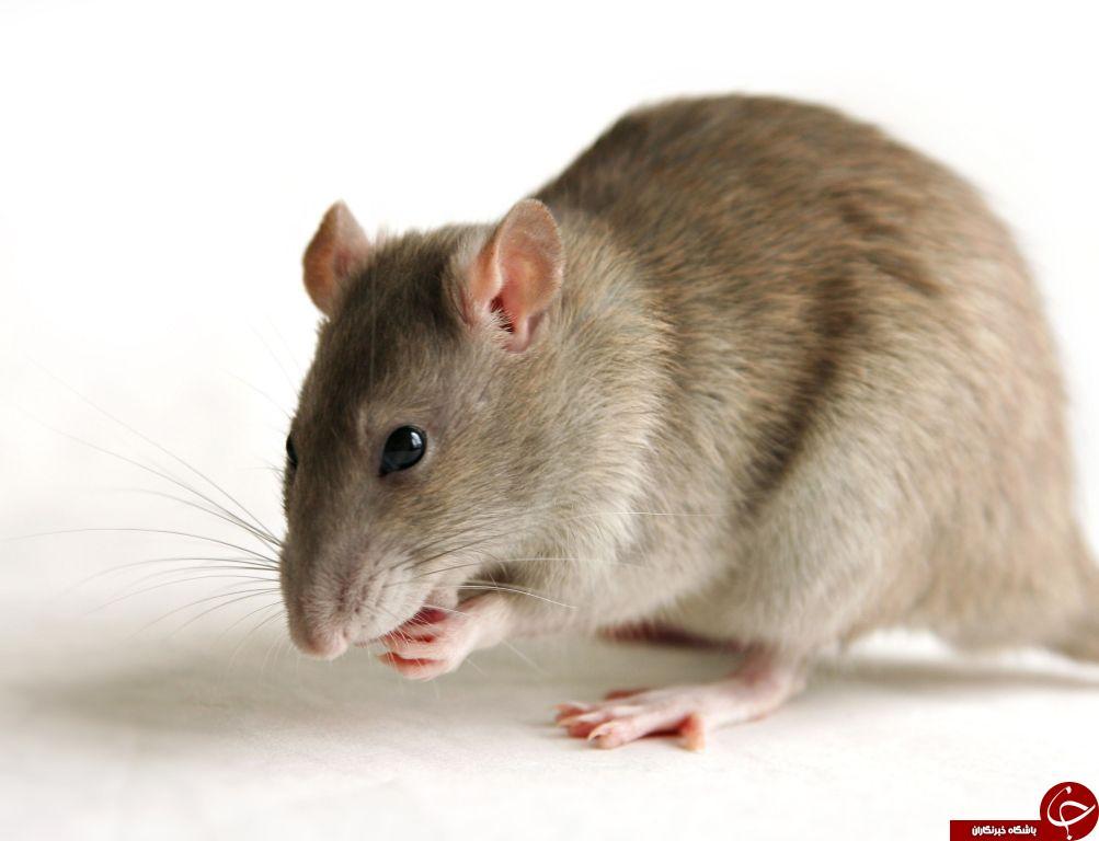 ترفندهایی برای مبارزه با موش در خانه