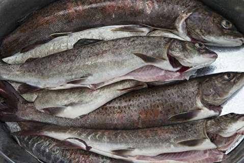 چگونه ماهی را تازه نگه داریم تا فاسد نشود؟