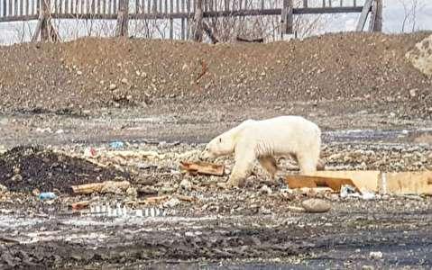 زبالهگردی خرس قطبی برای غذا