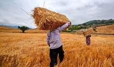 جولان دلالان در گندمزارهای ایران/ لزوم بازنگری در نرخ خرید تضمینی گندم/ زنگ خطر برای واردات گندم و در نهایت تامین نان سفره مردم