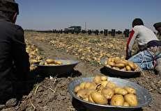 دلیل افزایش قیمت سیب زمینی؛ آزادسازی صادرات یا افتادن در دام تار عنکبوتی؟