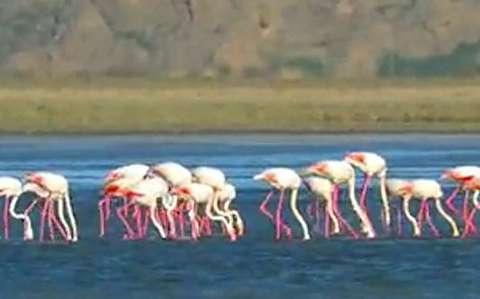 بازگشت فلامینگوهای مهاجر به دریاچه ارومیه