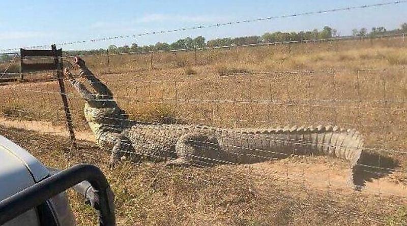 حمله تمساح غولپیکر به کشاورز بعد از شکار گوساله