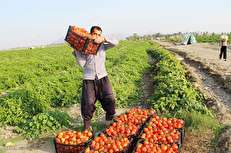 کشاورزان باز هم در دام تار عنکبوت افتادند/ مصرف بی رویه آب برای تولید گوجه و محصول نهایی برای خوراک دام