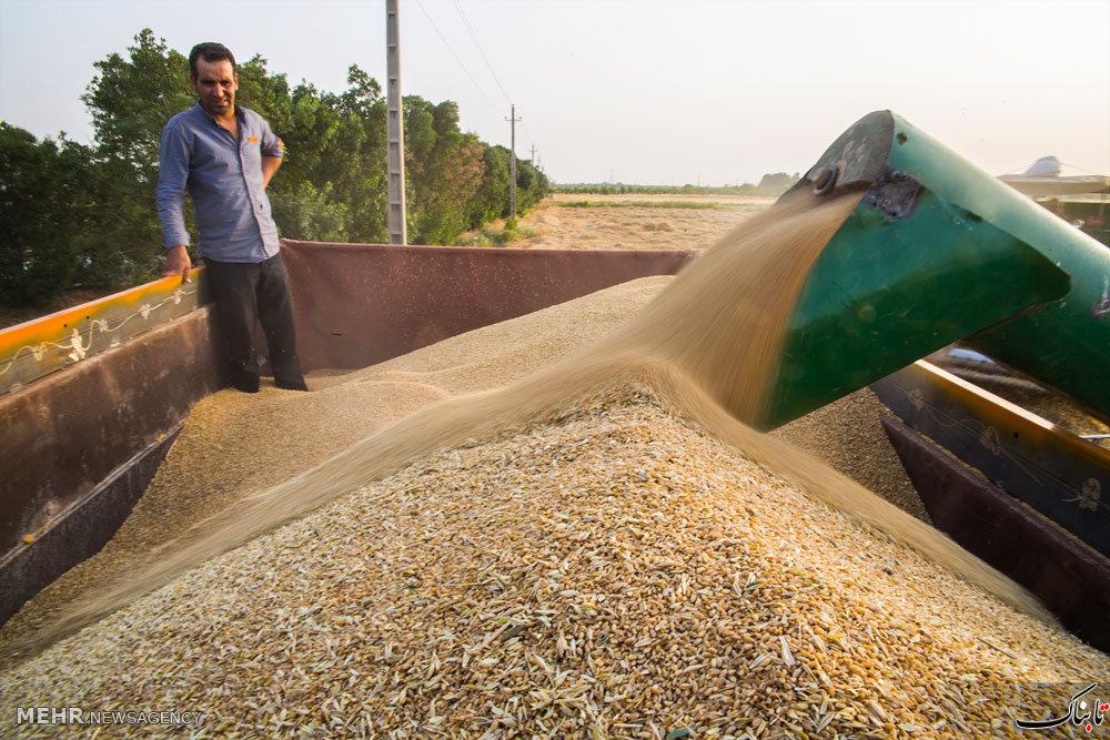 فاصله ۶۰۰ تومانی نرخ خرید تضمینی گندم با خواسته کشاورزان؛ آیا باز هم گندمها به انبارها خواهند رفت؟