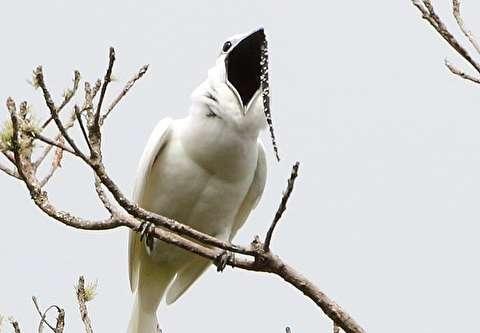 بلندترین آواز پرنده